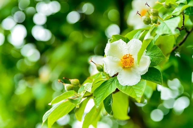 シャラの木とは?その特徴や花言葉をご紹介!夏椿とも呼ばれる理由は?