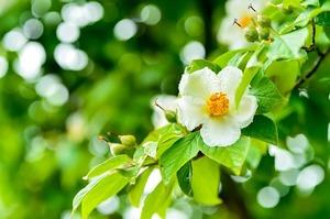 シャラの木の育て方!剪定方法や病害虫対策をご紹介!枯れる原因は?