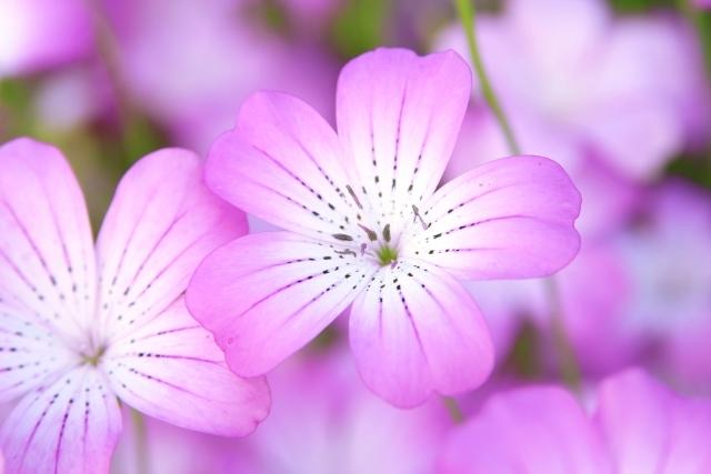 アグロステンマとは?名前の由来から、花の特徴、種類までご紹介!