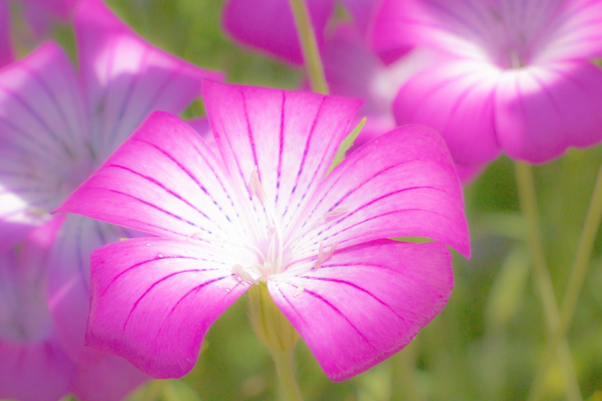アグロステンマの育て方!花を倒さずに上手に栽培するコツをご紹介!