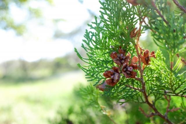 エレガンテシマの育て方!庭木や生垣としての剪定方法などをご紹介!