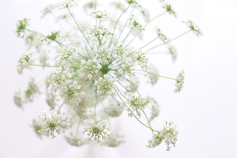 レースフラワーとは?切り花も楽しめる花の特徴・品種や花言葉をご紹介!