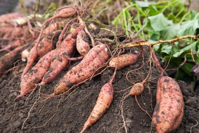安納芋の育て方・栽培方法!植え方から収穫までのコツをご紹介!
