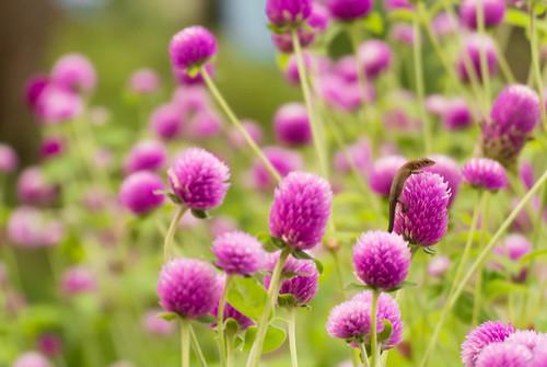 千日紅(センニチコウ)の育て方!種まきから開花までのコツをご紹介!