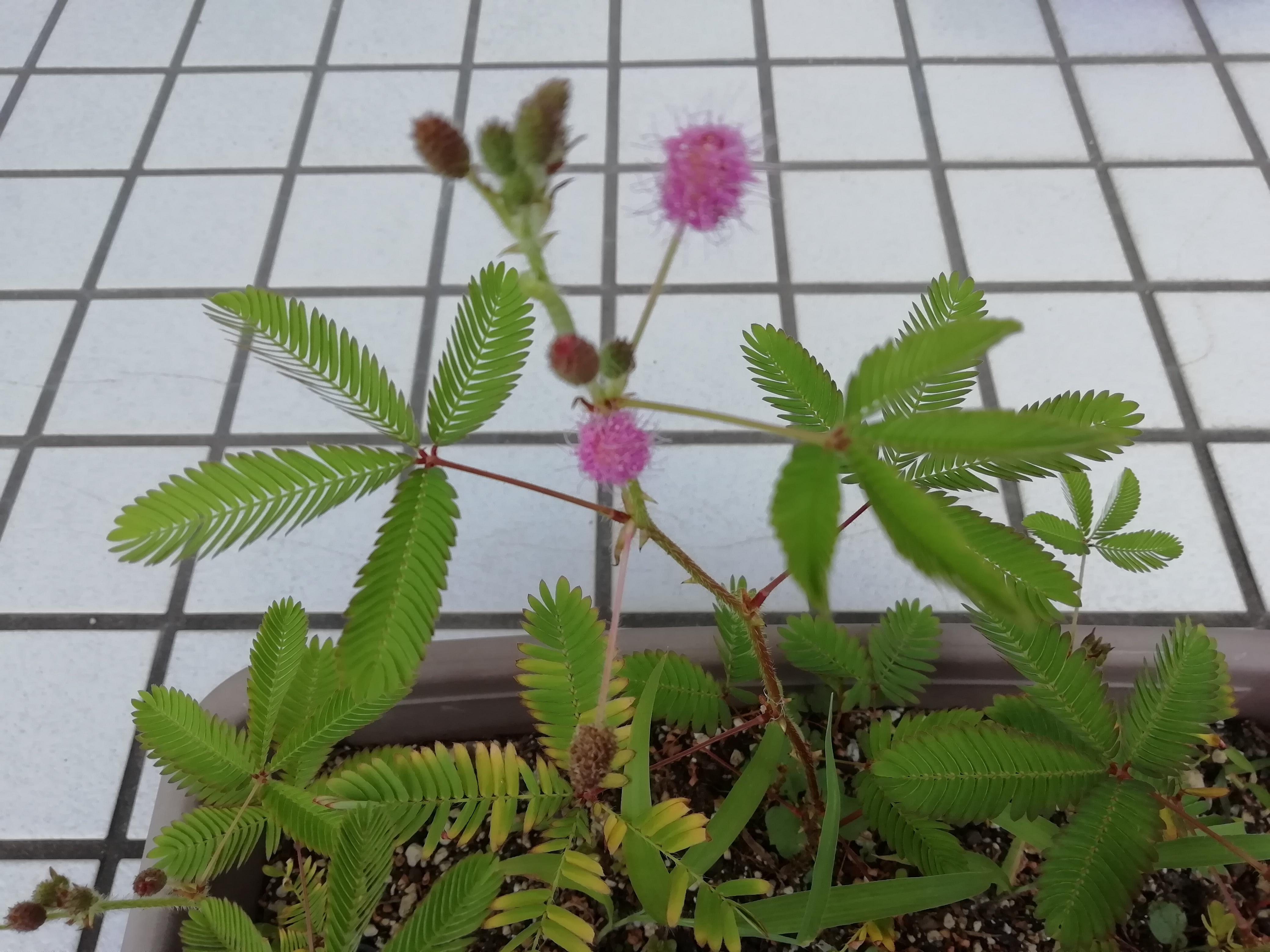 オジギソウの育て方!種から上手に枯らさずに花を咲かせる方法とは?