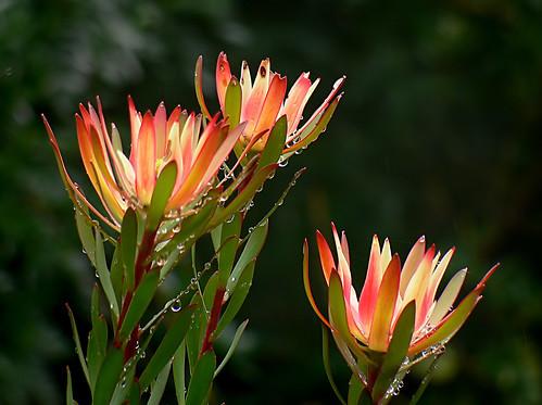リューカデンドロンとは?その種類やそれぞれの特徴・花言葉をご紹介!