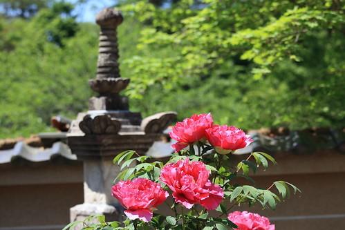 牡丹の季節はいつ?春牡丹・寒牡丹・冬牡丹など品種別の開花時期をご紹介!