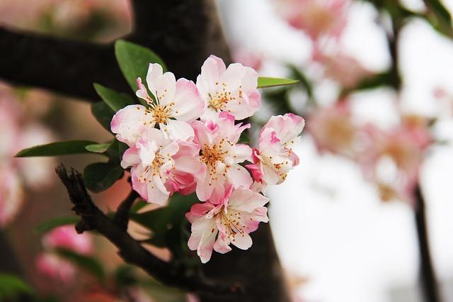牡丹桜とは?八重桜との関係や、ソメイヨシノとの違いなど、特徴をご紹介!