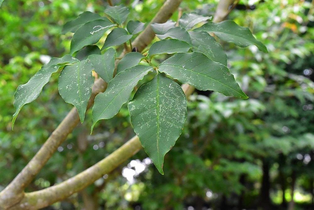 トネリコとは?樹形など庭木としての特徴をご紹介!シマトネリコとの違いは?