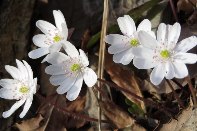 雪割草とは?花の特徴や咲き方をご紹介!ミスミソウとの違いは?