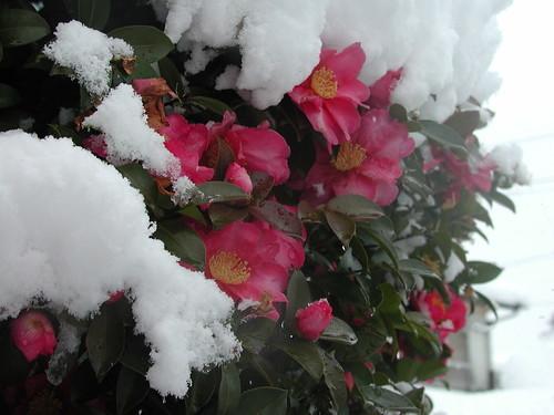 雪椿(ユキツバキ)とは?花の特徴や名前の由来、開花時期をご紹介!