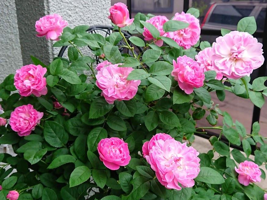 鉢植えにおすすめのバラ5選!植え替えや肥料のやり方など育て方もご紹介!