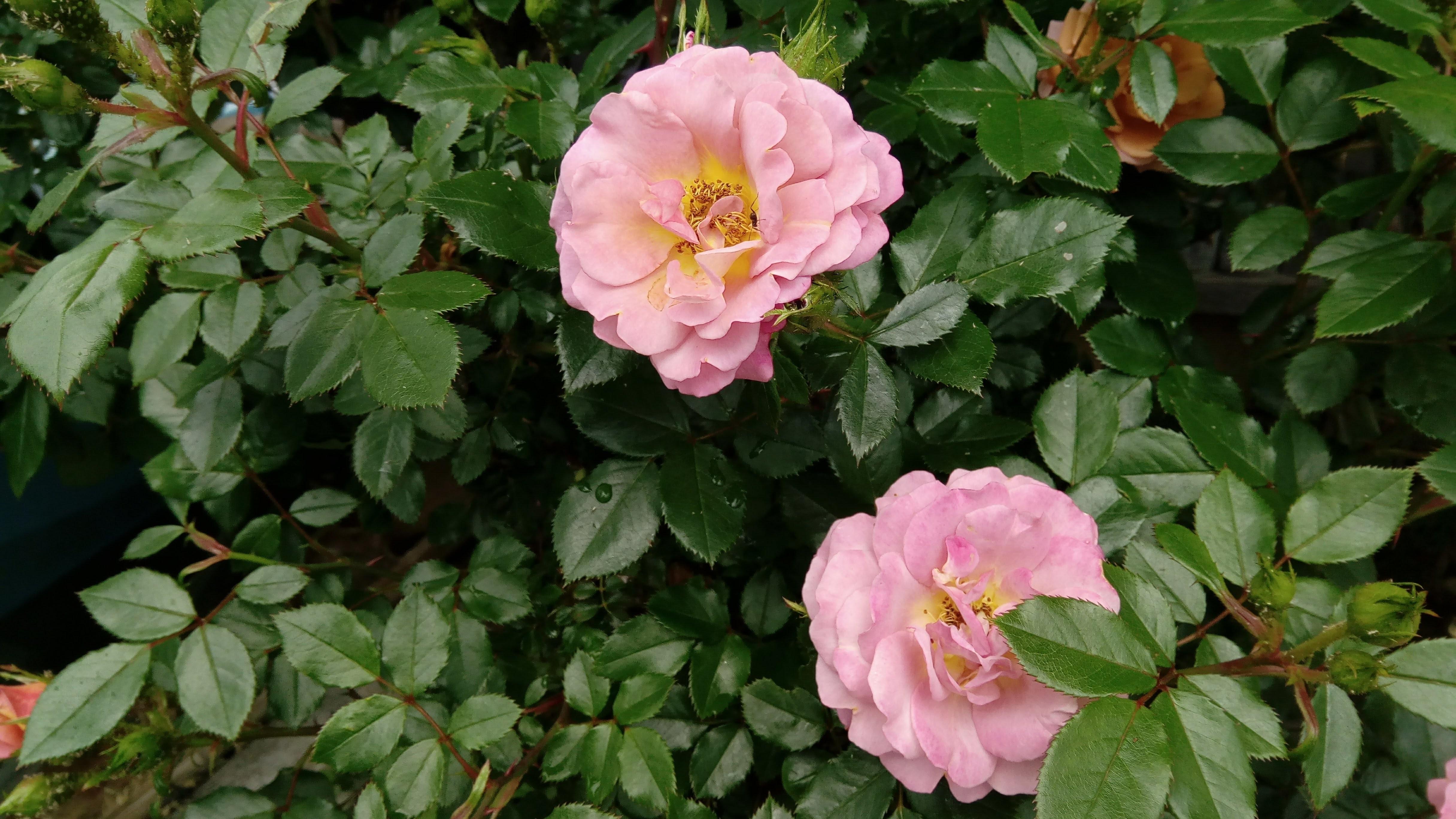 バラの初心者には鉢植えがオススメ?枯らさないためのコツもご紹介!