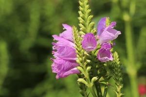 ハナトラノオの育て方!花後の管理方法や剪定・増やし方などをご紹介!
