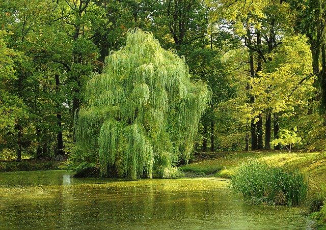 シダレヤナギ(枝垂れ柳)とは?特徴や見頃の季節、枝の用途をご紹介!