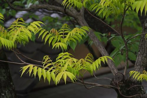 ハゼの木とは?樹木の特徴や紅葉の時期をご紹介!木の見分け方はどこ?
