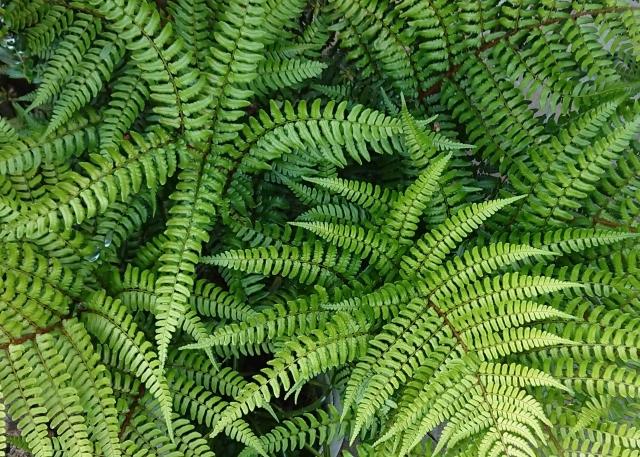 イヌワラビとは?葉の形や葉の裏側などの特徴をご紹介!生息地はどこ?