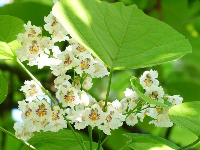 キササゲとは?名前の由来や、樹木の特徴、生薬としての効果をご紹介!