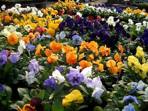 冬の寄せ植えにおすすめの植物10選!寒さに強く、かつ、お洒落な花は?