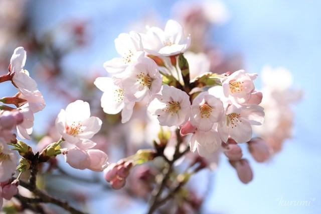 日本の国花とは?併せて国鳥など「国の代表」とされる物を6つご紹介!