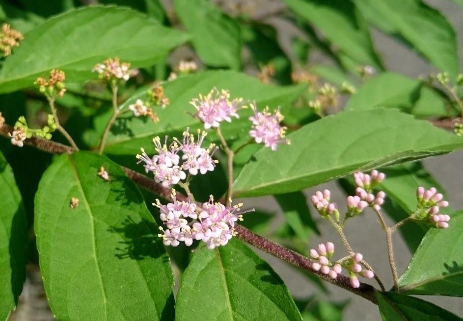 コムラサキ(小紫)とはどんな植物?花や実の特徴や育て方をご紹介!