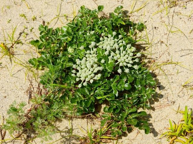 ハマボウフウとは?葉や茎の特徴や野菜としての食べ方・効能をご紹介!