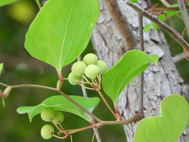 サルトリイバラとは?ツル植物としての特徴や見分け方ご紹介!食べられる?