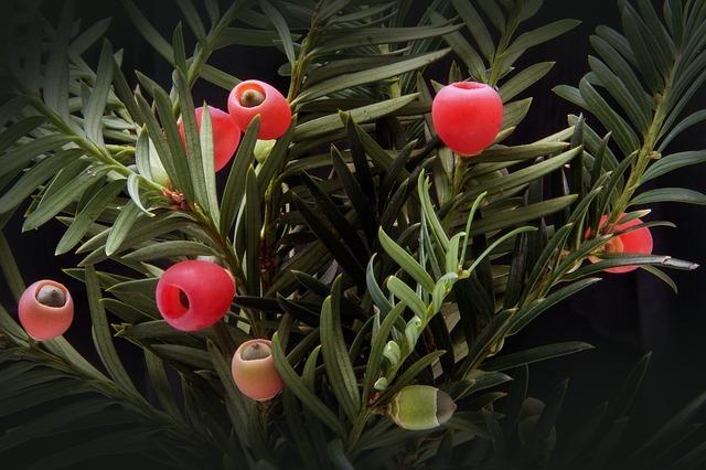 イチイの木とは?その特徴や神話との関係をご紹介!オンコの実って何?
