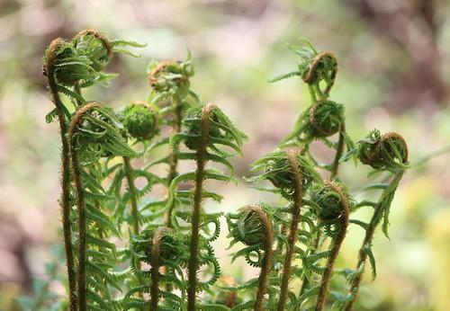 クサソテツの育て方!上手に栽培すれば、食用にコゴミを収穫できる?