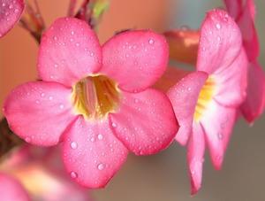 アデニウムとは?砂漠のバラともいわれる植物の特徴や種類をご紹介!