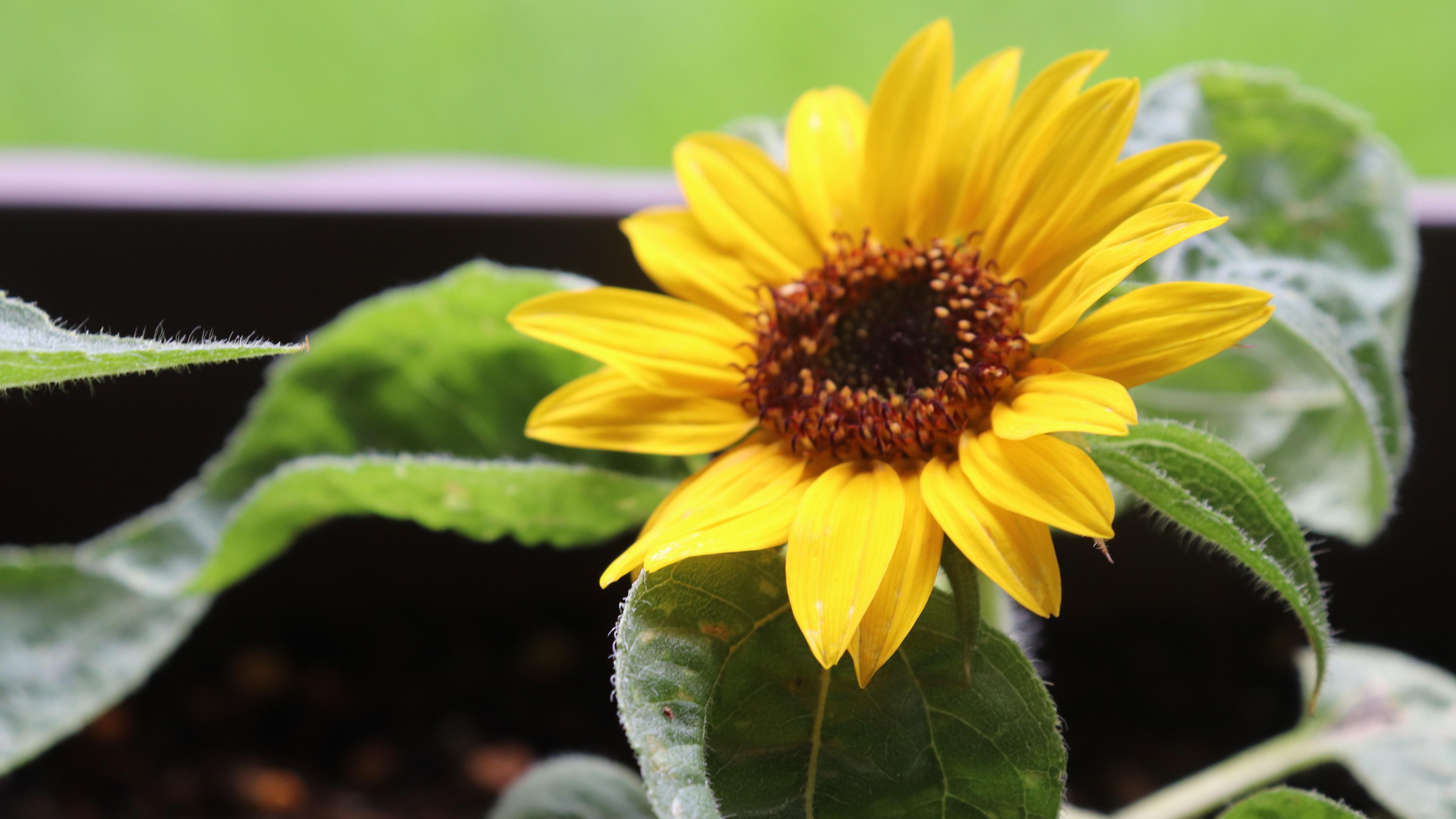 ミニひまわりの育て方!種まきから開花させるまでの管理のコツをご紹介!