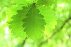 カシワとは?葉や樹皮やドングリの特徴をご紹介!「柏」との関係は?