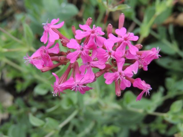 ムシトリナデシコとは?特徴・花言葉や育て方をご紹介!食虫植物なの?
