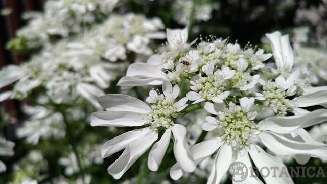 オルラヤ(オルレア)の育て方!種まきから上手に開花させるコツは?