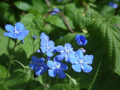 オンファロデスとは?その特徴や花言葉をご紹介!開花時期はいつ?