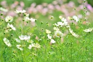 オンファロデスの育て方!種まきから開花までの栽培のコツをご紹介!