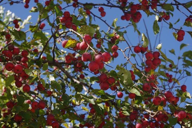 クラブアップルとは?色・香りなど特徴をご紹介!姫りんごとの違いは?
