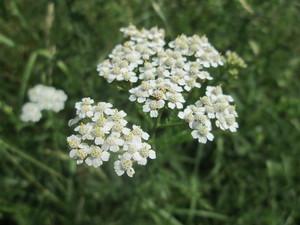 セイヨウノコギリソウとは?特徴や花の時期をご紹介!「ヤロウ」って?