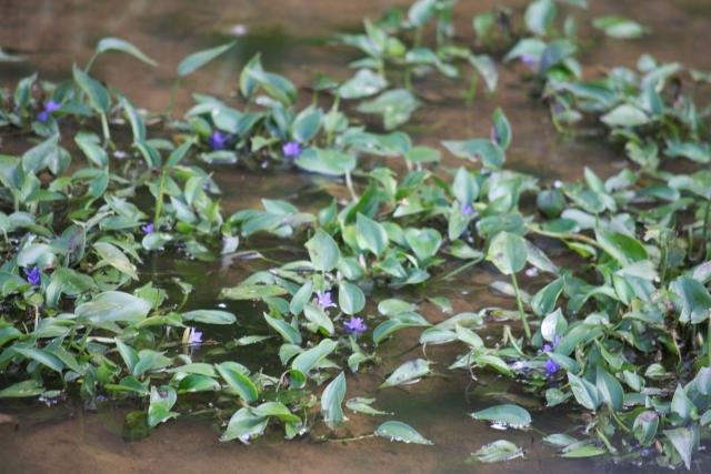コナギとは?水田雑草としての特徴やコナギに効果的な除草剤を解説!