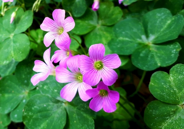 ムラサキカタバミとは?花や葉の特徴や開花時期をご紹介!食べられる?