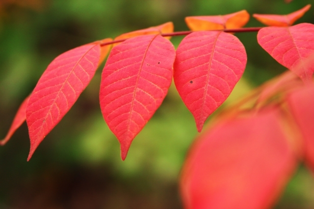ヤマウルシとは?真っ赤に紅葉する葉の特徴や、ウルシとの違いを解説!