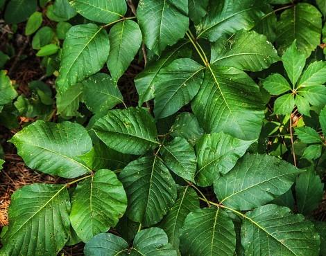 ツタウルシ(蔦漆)とは?植物の特徴や用途をご紹介!触ると危険!?