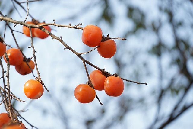柿の剪定!基本のやり方・時期から樹形の仕立て方まで図解で徹底解説!