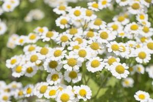 マトリカリアとは?その種類・特徴や花言葉をご紹介!開花時期はいつ?
