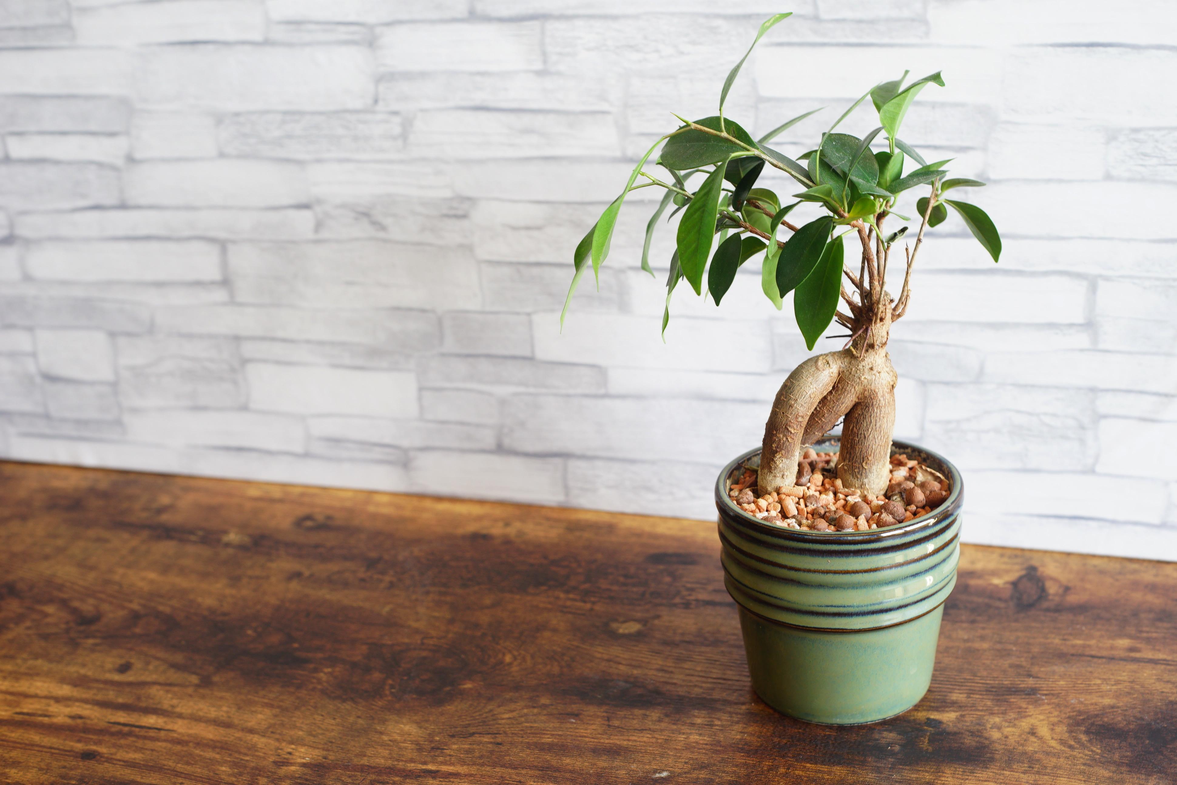 ガジュマル盆栽の作り方と育て方!剪定方法や仕立て方を詳しく解説!