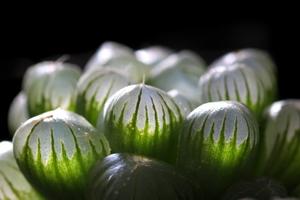 ハオルチアってどんな多肉植物?その種類や特徴をご紹介!花は咲く?