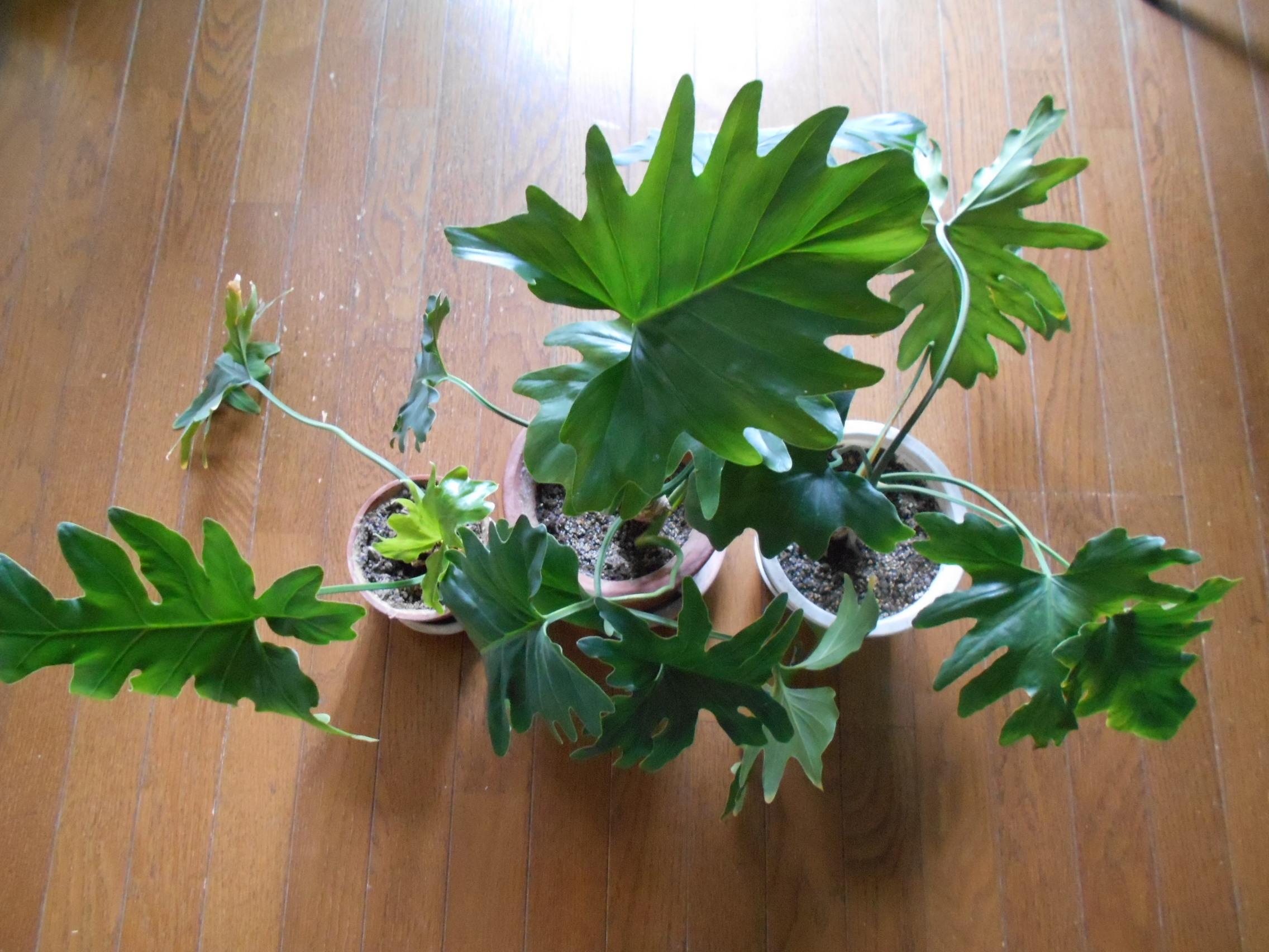 観葉植物「セローム」の育て方!剪定や挿し木の仕方など管理のコツを解説!