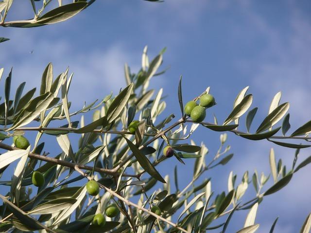 オリーブの植え付け・植え替え!土作りのコツなど上手なやり方を解説!
