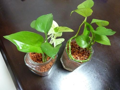 気根(きこん)とは?役割や観葉植物などに生える原因と対処法をご紹介!