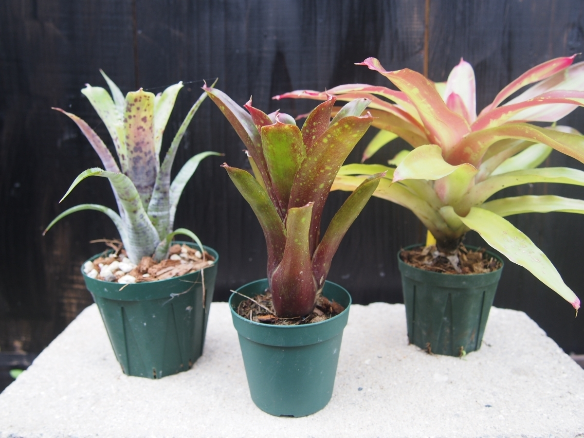 ビルベルギアとは?植物としての特徴や土作りなど「育て方」をご紹介!